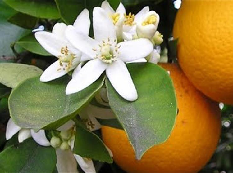 Tennyson, Orange Blossoms and Marriage