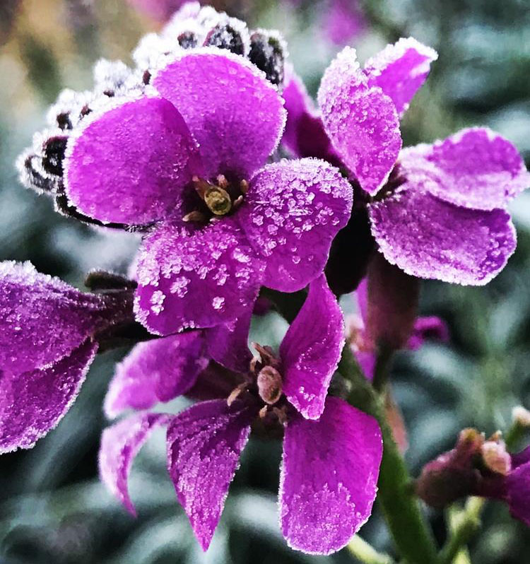 frosty flower winter