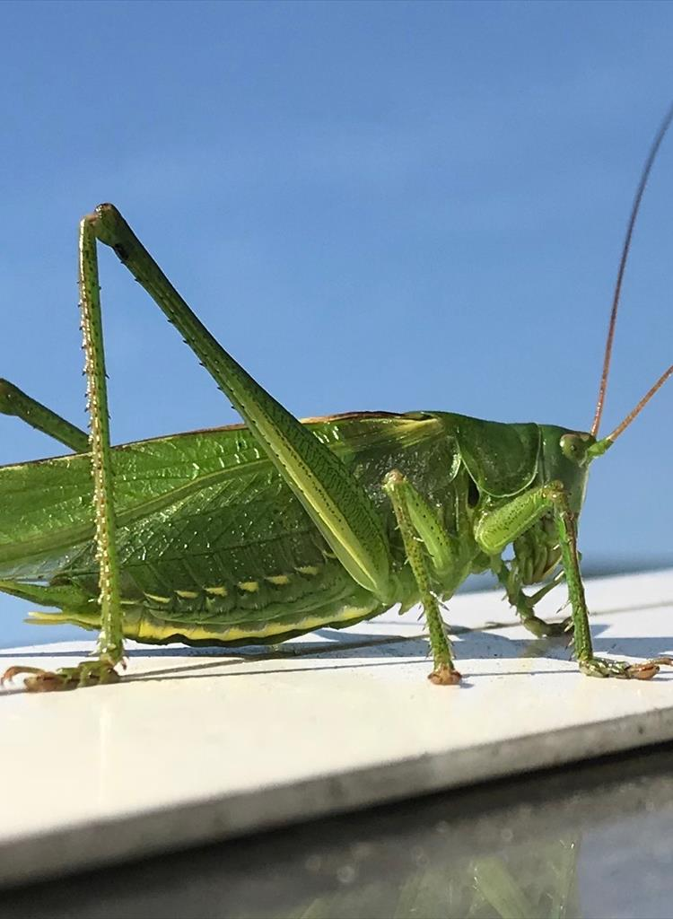 Great Green Cricket