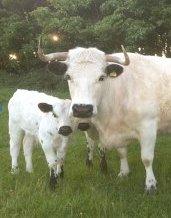 Rare breed White Park cattle